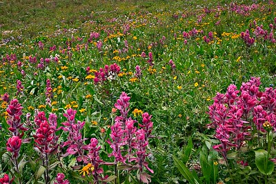 Wildflower Garden - Paintbrush - August, 2003 Upper Ice Lakes Basin, San Juan Mtns., CO