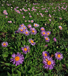 Purple Asters, Shrine Ridge, CO