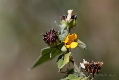 Not Sure - Malvaceae?