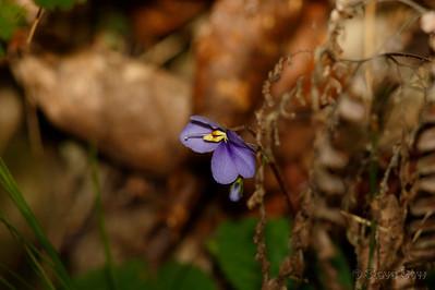 Rock Violet