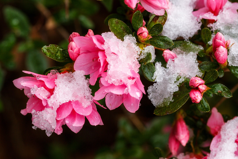 Snow On Azaleas
