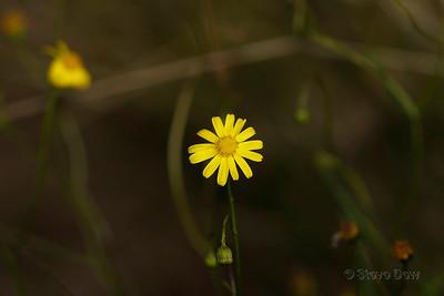 Daisy - Asteraceae