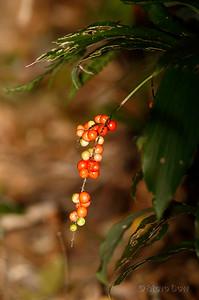 Dwarf Palm Lily