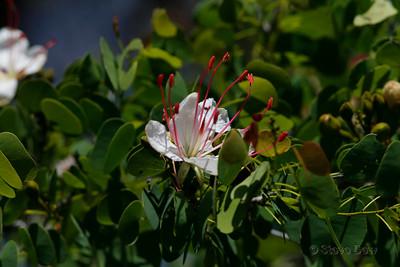Bauhinia hookeri