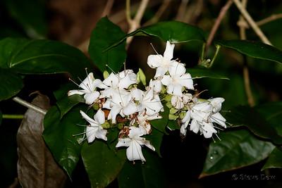 White-flowering Vine