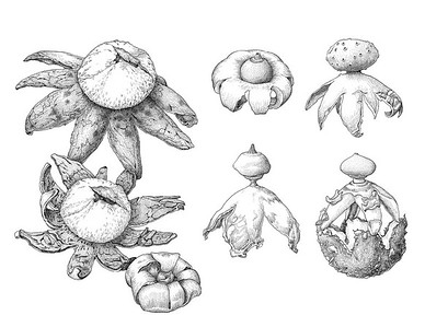 """Earthstar Fungi"" (pen & ink on illustration board) by Insil Choi"