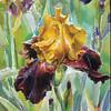 """Iris ""Sultan"""" (watercolor) by Alan Singer"