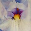 """""""Iris"""" (pigment ink on vellum with white gold leaf) by Wendi Schneider"""