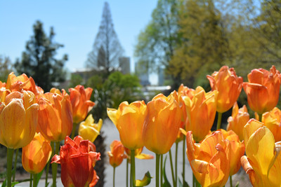 """Tulips in the City"" (photography) by LaTasia Franklin"