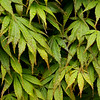 """Leaf Study 2, Royal Botanic Gardens, Edinburgh Scotland"" (photography) by Wayne Peterson"