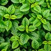 """Leaf Study 6, Royal Botanic Garden, Edinburgh Scotland"" (photography) by Wayne Peterson"