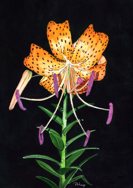 """Loren's Lily"" (watercolor, ink) by Pam Harp"