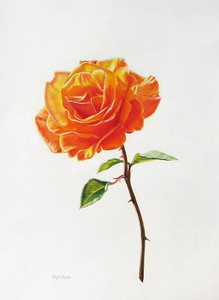 """October Rose"" (colored pencil) by Caryn Coville"