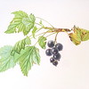 """Black currant"" (watercolor, colored pencil) by Alyona Nalivkina"