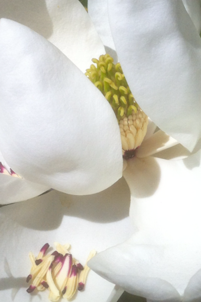 """""""Magnolia"""" (photography) by Sherry Lupo"""