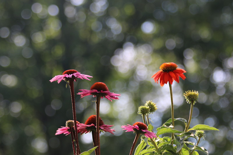 """Coneflower Bokeh"" (digital photography) by Kathy Brady"