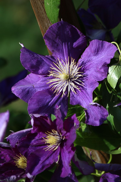"""Trellis Clematis"" (digital photography) by Kathy Brady"