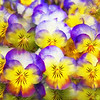 """Spring Pansy"" (photography) by Mac Titmus"