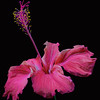 """Pink Hibiscus"" (photography) by Mac Titmus"