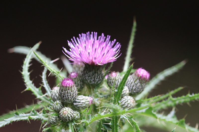 """Wild Thistle"" (digital photography) by Kathy Brady"