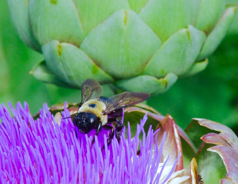 """""""Artichoke Flower with Bumble Bee"""" (photography) by Stephen Smith"""