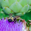 """Artichoke Flower with Bumble Bee"" (photography) by Stephen Smith"