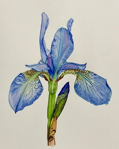 """Iris You Were Here"" (watercolor) by Sonja Jones"