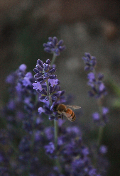 """Lovely Lavender"" (photography) by Gabby Joy"