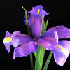 """Spring Iris"" (photography) by Stephen Smith"