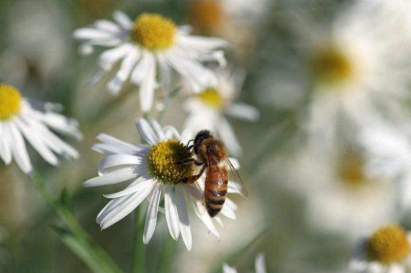 """""""Daisy Bee"""" (photography) by Kathy Brady"""