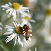 """Daisy Bee"" (photography) by Kathy Brady"
