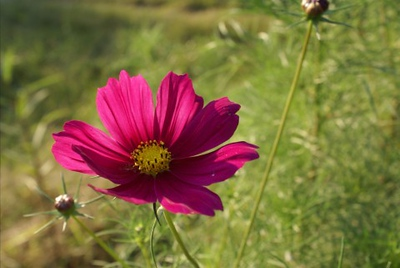 """Fuschia Cosmos"" (photography) by Stephanie Ferrell"