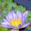 """Dragonfly Resting on Purple Waterlily "" (photography) by Stephen Smith"