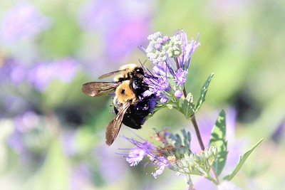 """Lavender Bumble Bees"" (photography) by Kathy Brady"
