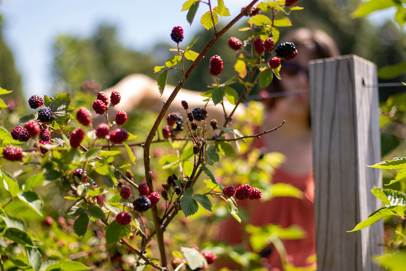 """""""Berry Picking"""" (photography) by Sarah Haig"""