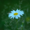 """Daisy"" (photography) by Elaine Hunter"
