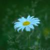 """Daisy"" (photography) by Elaine Hunter"