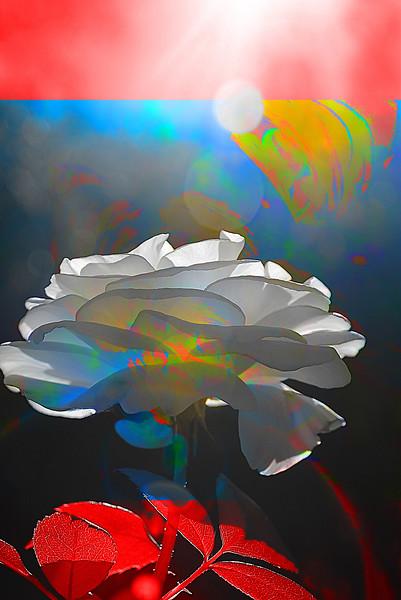 """White Rose"" (photography) by Elaine Hunter"