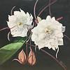 """""""Night Blooming Cereus"""" (watercolor) by Kathy Joyce"""