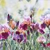 """""""Iris No.3"""" (watercolor) by Shu Han"""