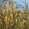 """Corn"" (oil) by Evgeny Yastrebov"