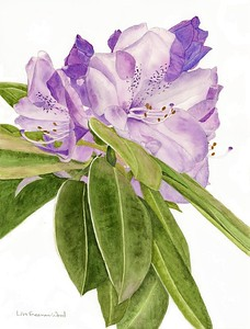 """""""Rhododendron in the Sun"""" (watercolor) by Lisa Freeman-Wood"""