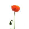 """""""Poppy & Son"""" (photography) by John Goddard"""