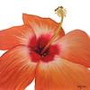 """""""Orange Hibiscus"""" (watercolor) by Kathy Joyce"""