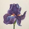 """""""Iris Beauty"""" (watercolor) by Kathy Joyce"""