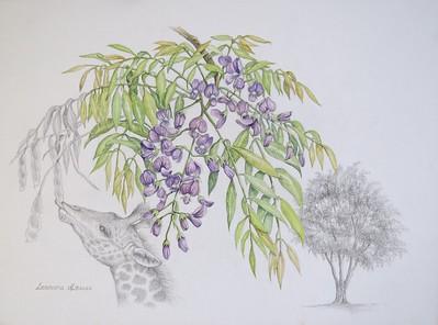 """""""Bolusanthus Speciosus ( Tree Wisteria)"""" (watercolor and graphite) by Leonora de Lange"""