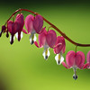 Bleeding Hearts #1