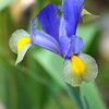 Blue & Yellow Iris #1