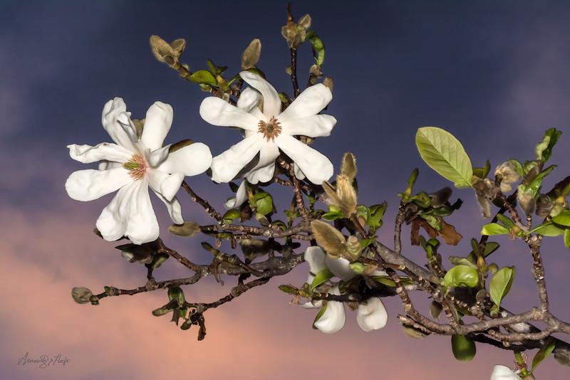 Magnolia 5/4/15