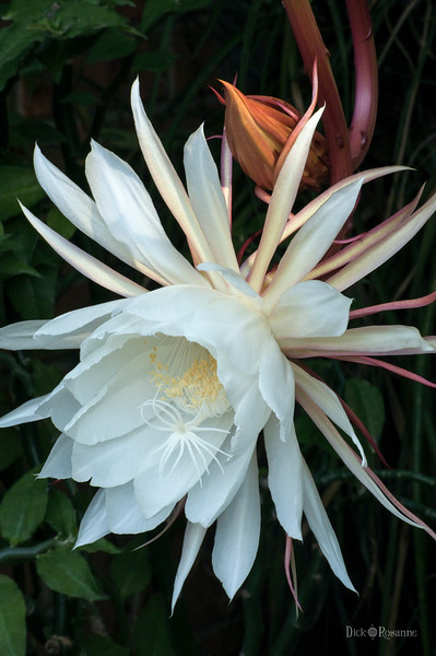 Night Blooming Cereus       8/25/2010